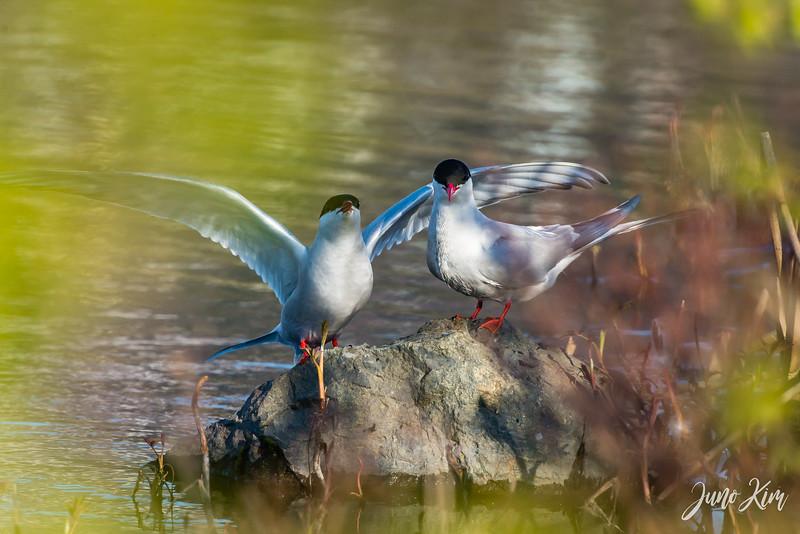 2020-05-12_Potter Marsh bird-_6109596-Juno Kim.jpg