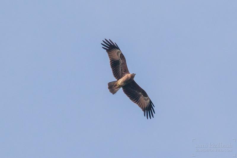 Black Kite 4.jpg