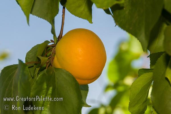 Royalty Apricot - Prunus armeniaca sp.