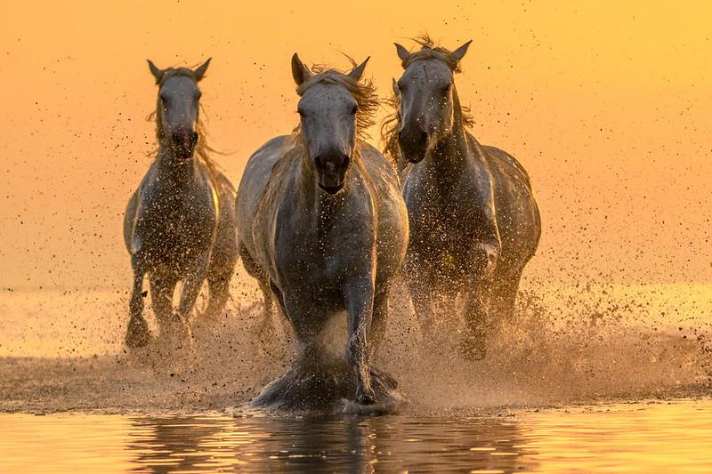 Camargue White Horses running in the marsh.