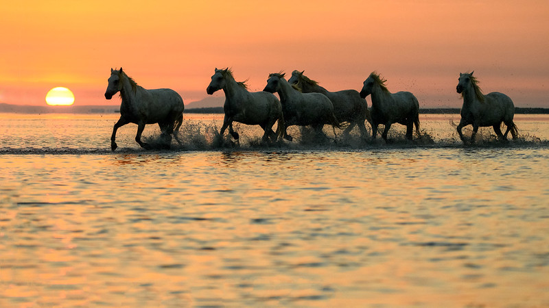 Camargue White Horse Herd at sunrise
