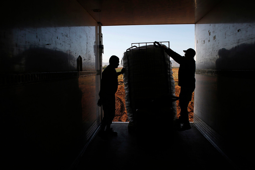 . Farm worker Mustapha El-Mezroui (R) helps load a sack filled with potatoes onto a truck during the harvest in a field belonging to Spanish farmer Santiago Perez in the southern Spanish region of Murcia, June 6, 2013.  El-Mezroui left his native Morocco for Spain on a makeshift boat in the mid-1990s, and now works as a keeper and farm hand on a farm outside La Puebla, Cartagena, where he lives with his wife and three-year-old son. He supervises day labourers, does maintenance work and performs other jobs, helping to keep the farm secure. The majority of day labourers in the region come from Morocco and Ecuador, and it can be rare to see Spanish labourers in the fields. Nevertheless, as Spain wrestles with economic crisis and youth unemployment levels above 50 percent, some young Spaniards are starting to consider the kinds of jobs mostly performed by immigrants during the boom years Picture taken June 6, 2013. REUTERS/Susana Vera