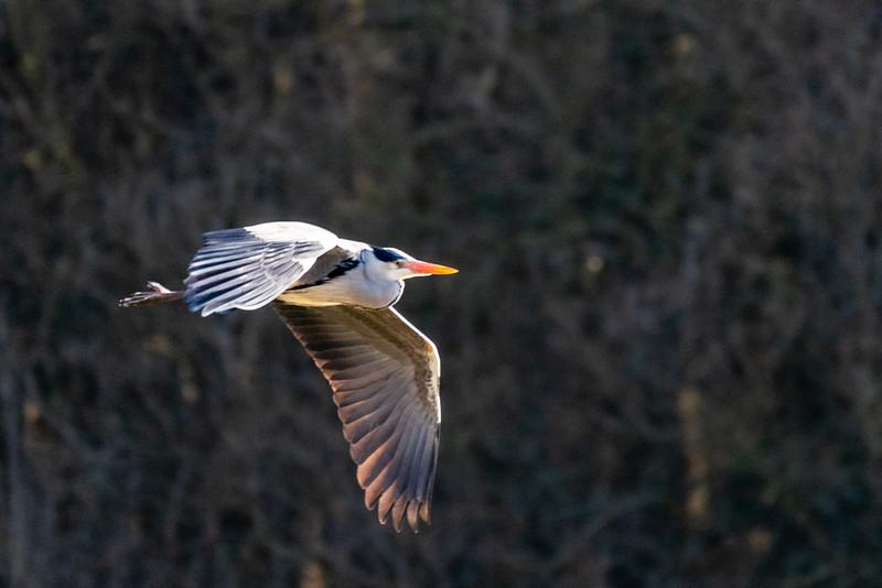 Grey Heron - Ardea cinerea-8.jpg