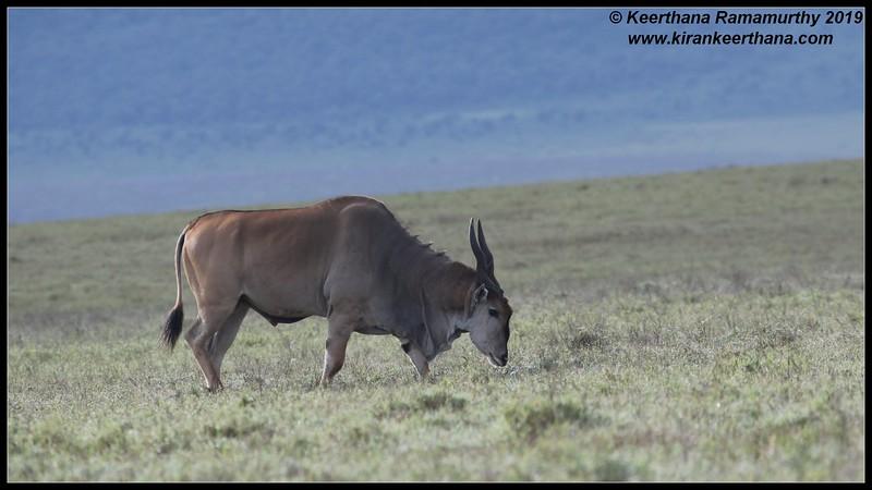 Eland, Ngorongoro Crater, Ngorongoro Conservation Area, Tanzania, November 2019