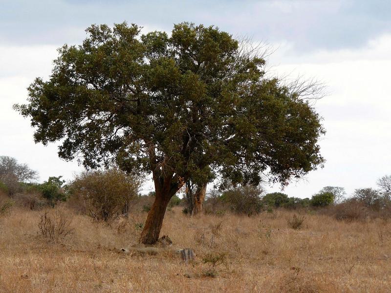 Lions Sleeping Tree Tsavo East.jpg