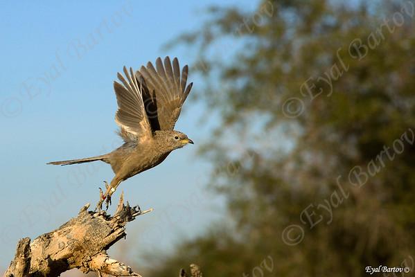 Arabian Babbler (Turdoides squamiceps)  זנבן ערבי