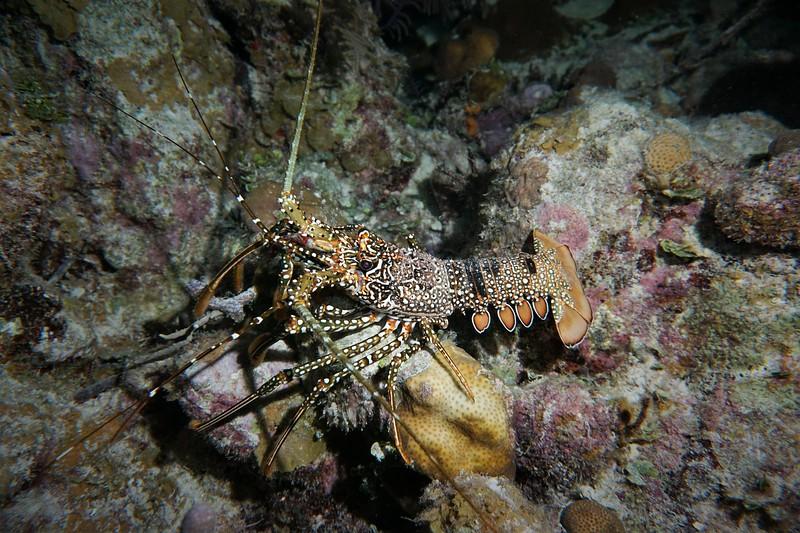 lobster 1aa.jpg