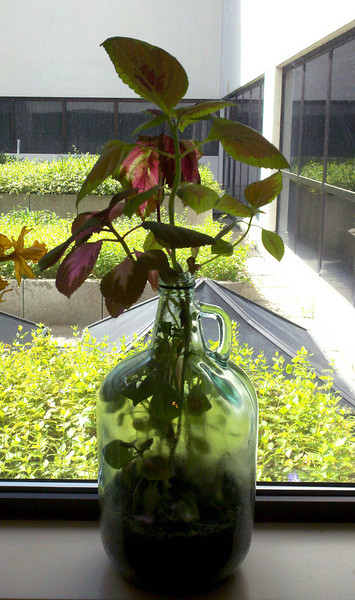jugplant.jpg