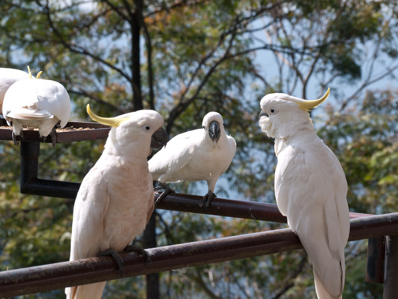 A number of Sulphur-crested Cockatoos were near a feeder at the top of the Scenic Railway