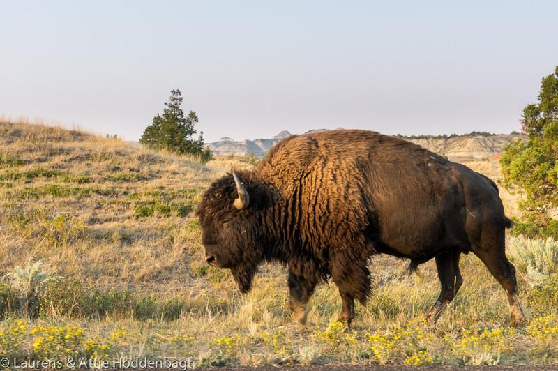 Buffalo, Theodore Roosevelt Nat'l Park, ND