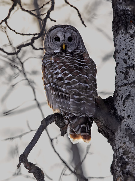 My first ever Barred Owl taken this evening.
