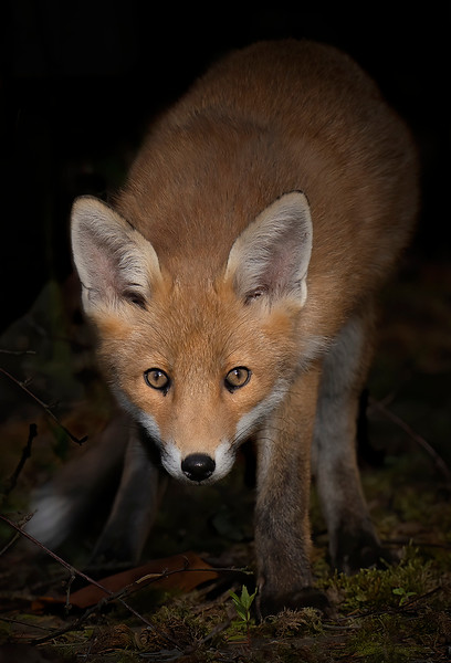 Young Fox Steps Out of the Shadows