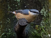 Beautiful profile of a Nuthatch