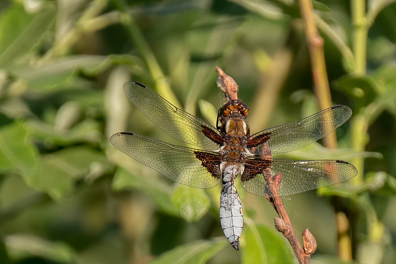 ważka płaskobrzucha | broad-bodied chaser | libellula depressa