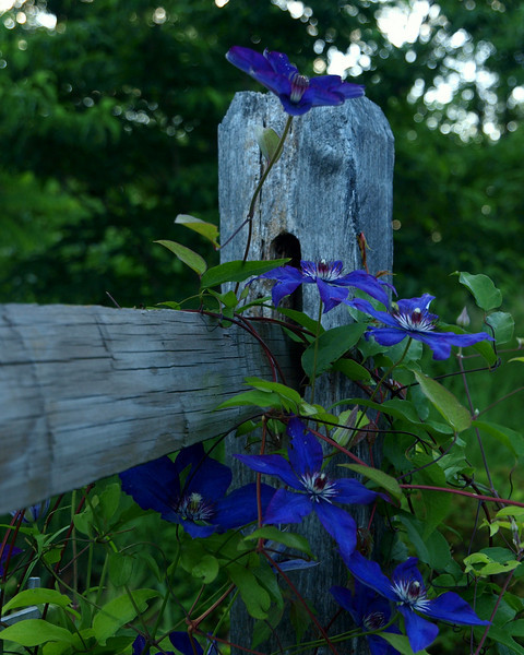 clematis fence.jpg