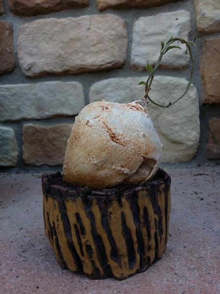 Raphionacme Longifolia