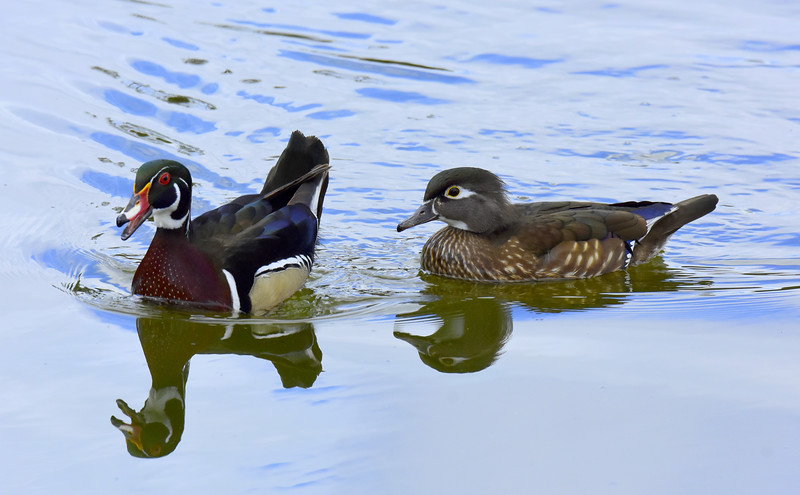 Wood Ducks, Drake & Hen
