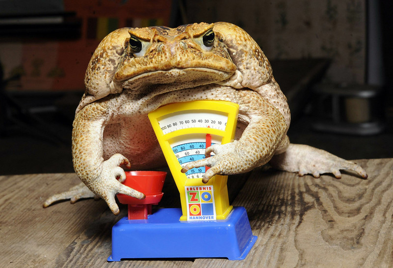 . Cane toad Agathe sits on a toy balance during an inventory at the zoo in Hanover, central Germany, on January 5, 2011. All habitants of the zoo are to be counted, weighed and measured during the week long inventory. Agathe has a weight of 1850 grams.     AFP PHOTO    HOLGER HOLLEMANN