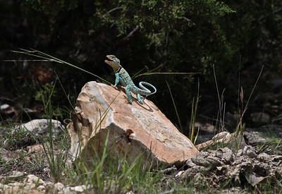 Collard lizards (Crotaphytidae)