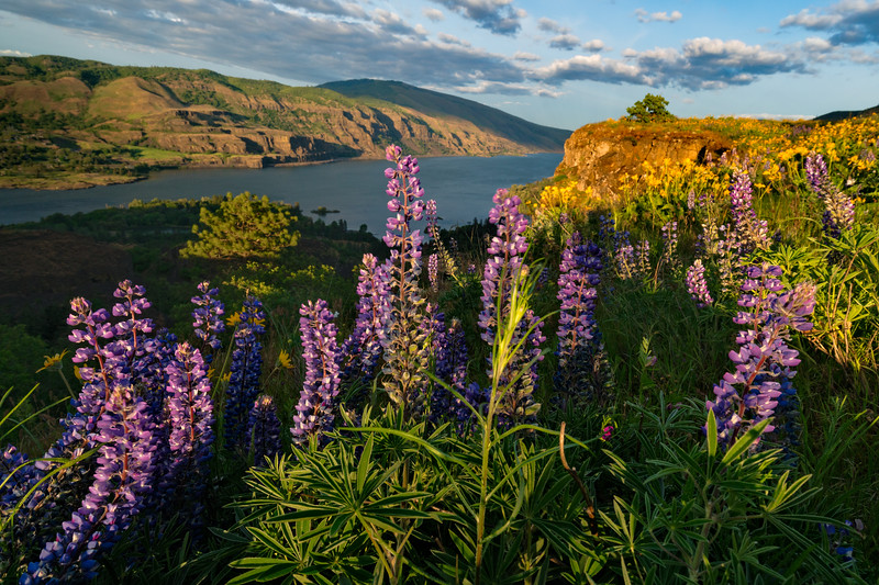 Lupines and Columbia River