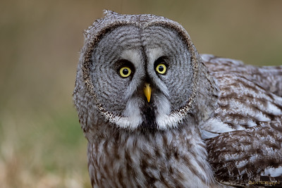Lappugle (Great Grey Owl)