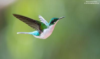 HummingbirdsFamily Trochilidae