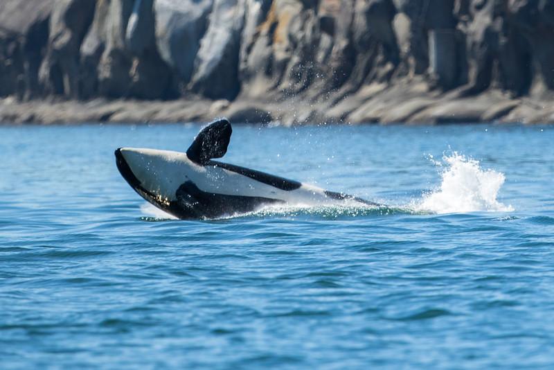 Orcas -  073115-154.jpg
