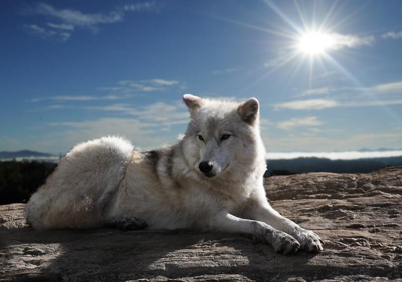 loup-blanc1.jpg