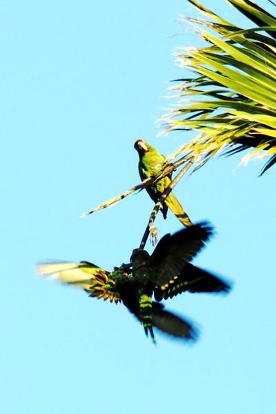 IMG_6485 parrots fighting.jpg