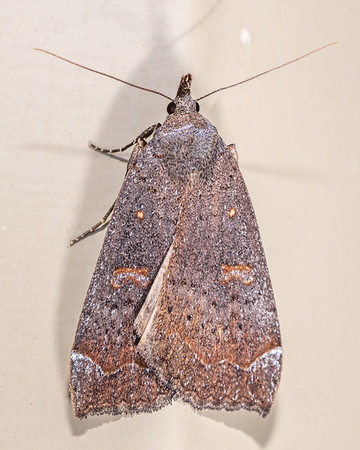 Rhapsa scotosialis - Slender owlet moth
