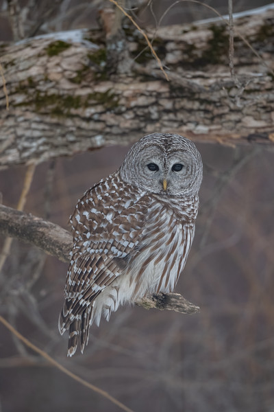 #1560 Barred Owl