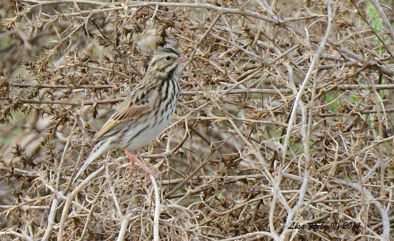 Savannah Sparrow - 09/28/2014 - Sod Farm