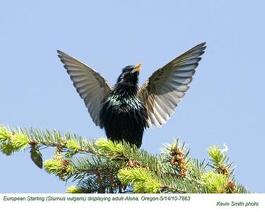 Starlings, Mynas