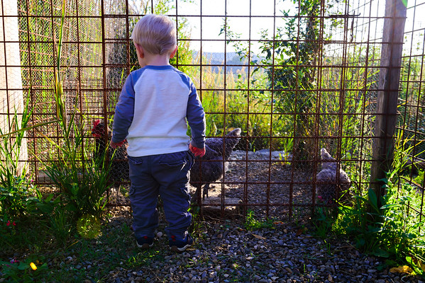 Tommy and the Chickens