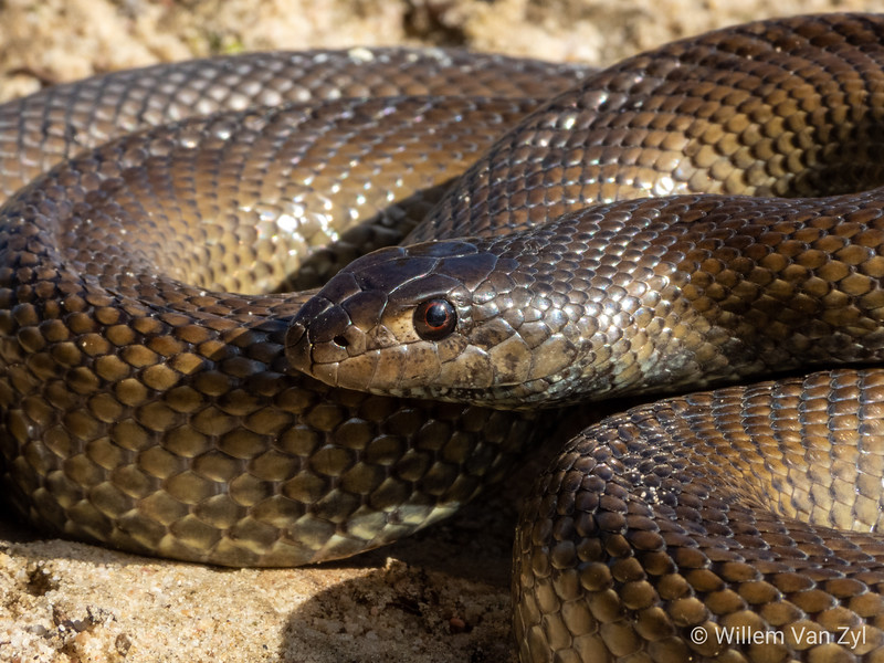 20190809 Mole Snake (Pseudaspis cana) from Sunset Beach, Western Cape