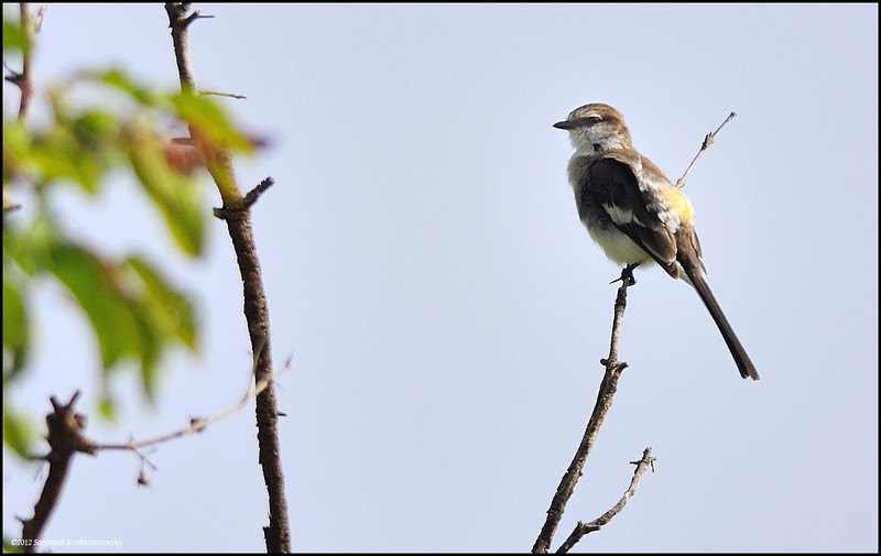 White bellied Minivet ( female )