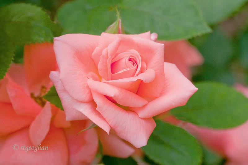 June 5_Pink Rose_4193.jpg