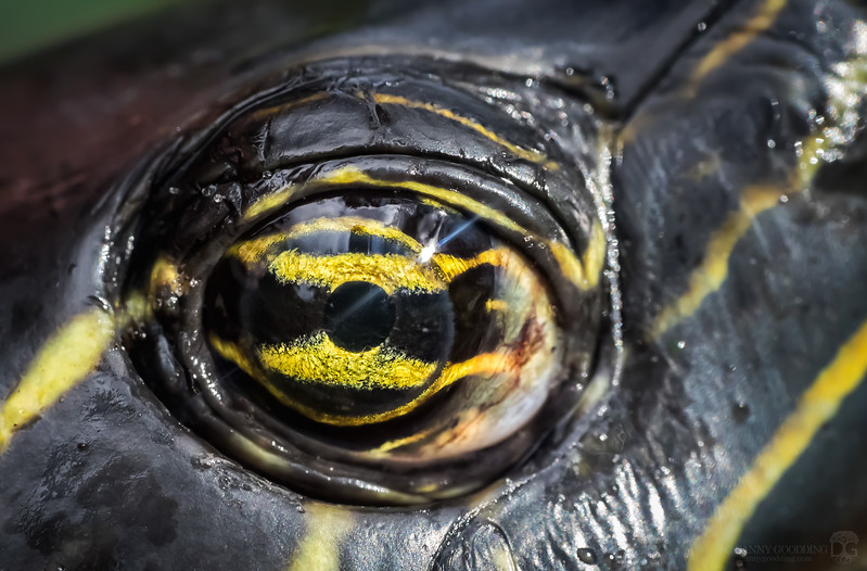 Peninsular cooter eye