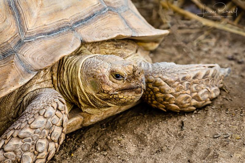 Desert Tortoise - Baja