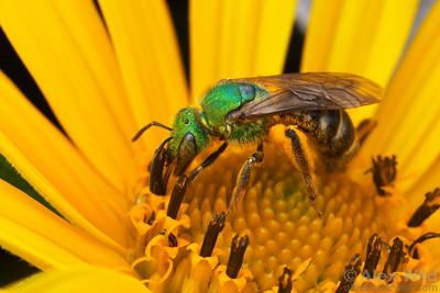 Agapostemon sp. - Green Metallic Bee. New York, USA.  filename: Agapostemon2