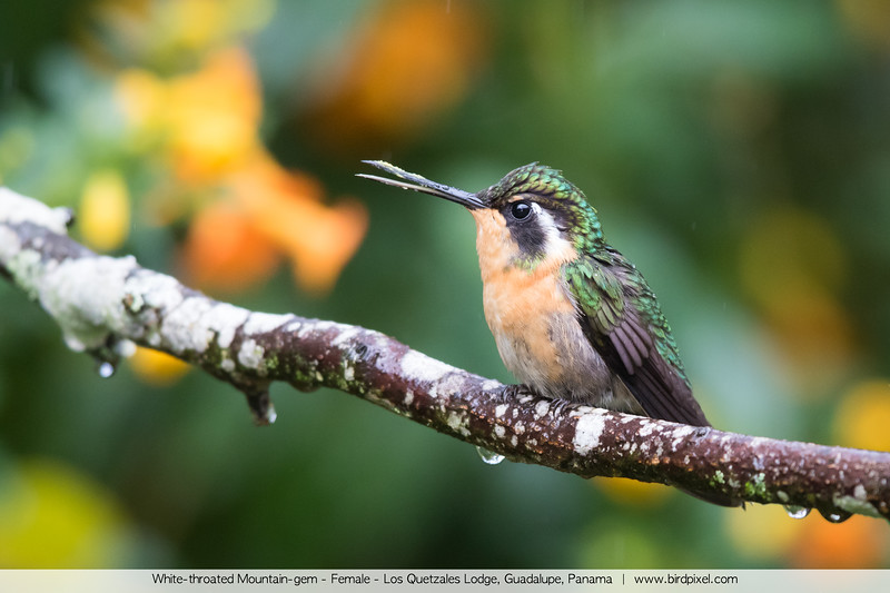 White-throated Mountain-gem - Female - Los Quetzales Lodge, Guadalupe, Panama