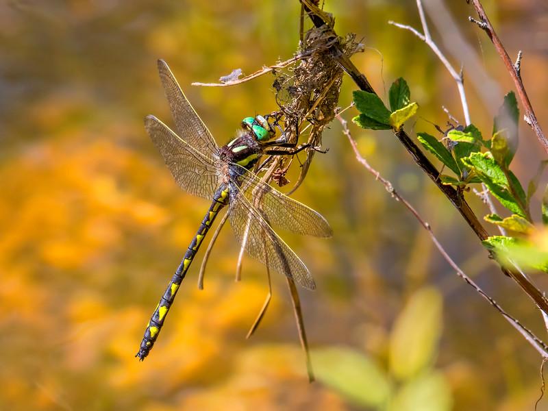 Male, Beaver Dam Meadow, Huntingdon Co, PA