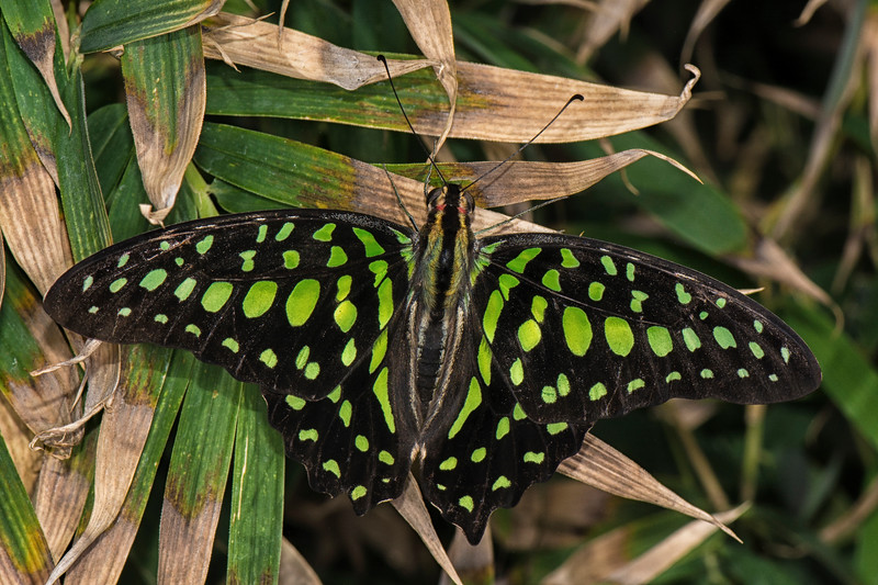 Butterfly Wonderland -6_Green Spottyed Triangle Butterfly.jpg
