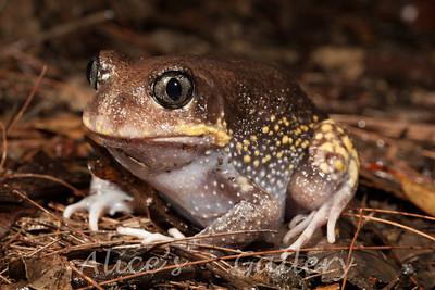 Heleioporus australiacus (Giant Burrowing Frog)