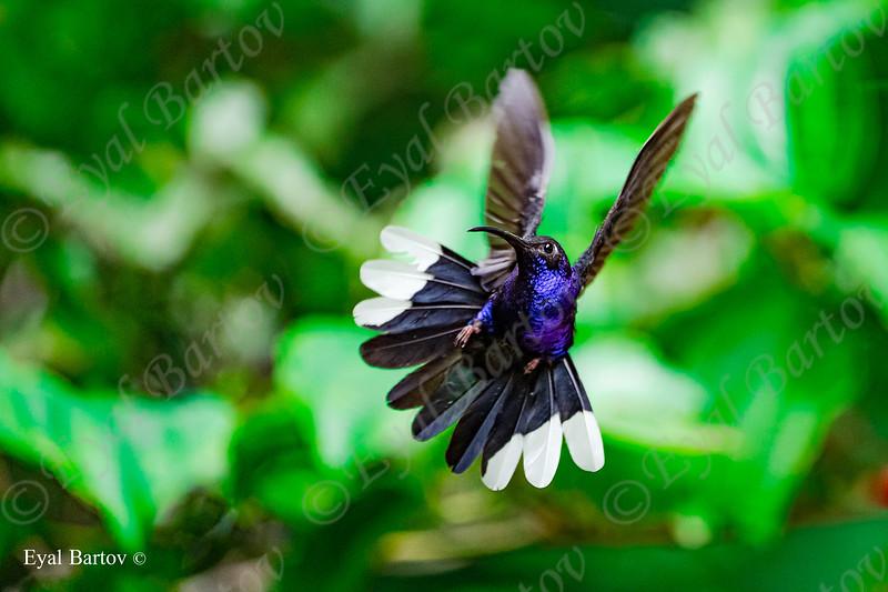 violet sabrewing (Campylopterus hemileucurus)