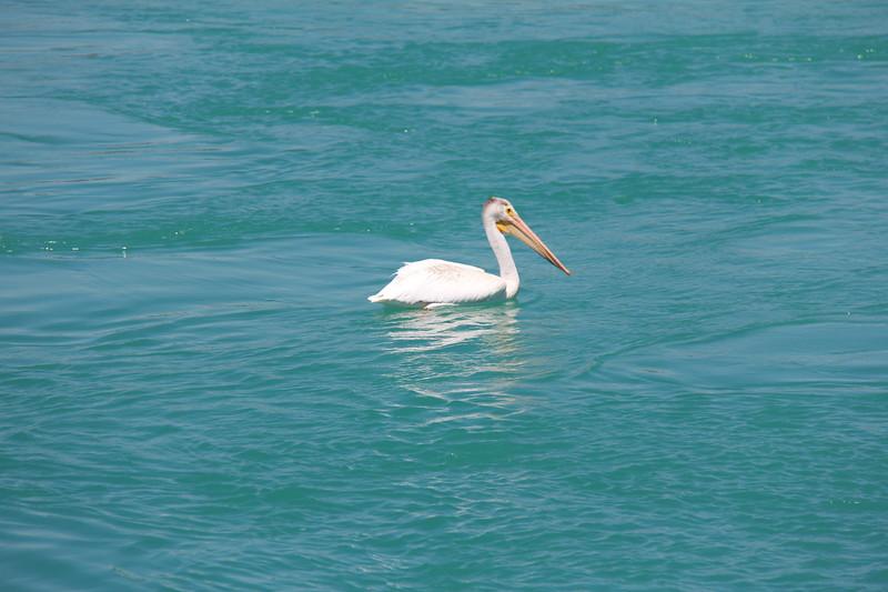 20180718-011 - Idaho - Pelican at Bear Lake Dam.JPG