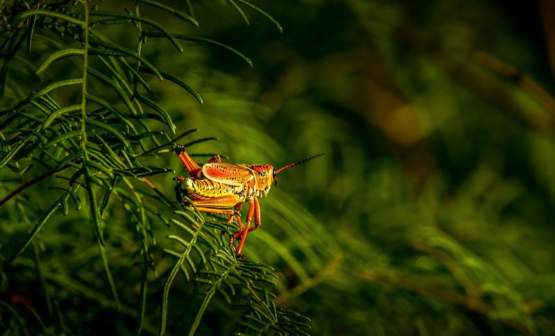 Grasshoppers 84.jpg