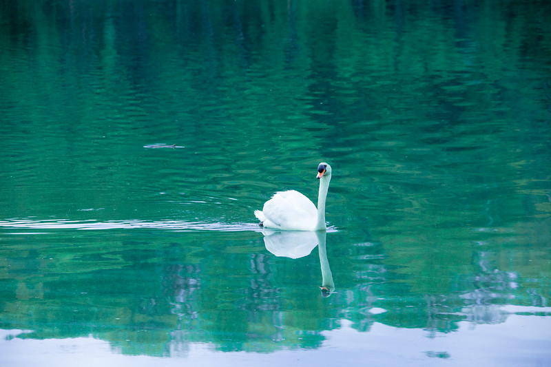 mute swan_-41.JPG