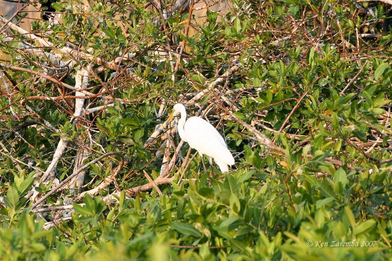 Great Egret, Moremi Game Reserve, Okavango Delta, Botswana