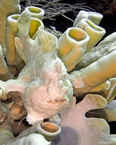 Giant Frogfish, white 2